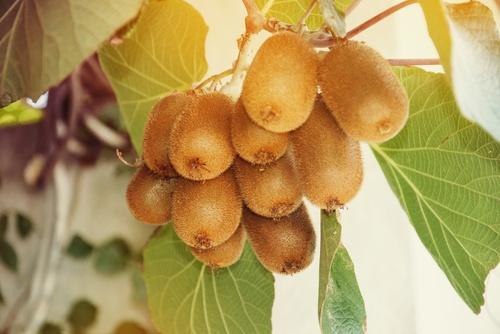 Strong Reasons to Often Eat Kiwifruit