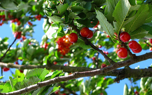 cherry-tree-fruit-nature-63312