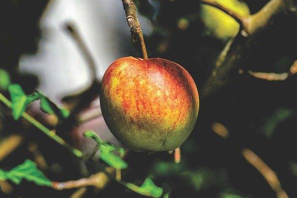Zehirli gıdalar Elma çekirdeği zehirli olabilir